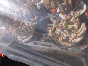 白樺キリン、無加温屋外温室でマイナス気温に遭いました(ToT)/~~~2016.01.27