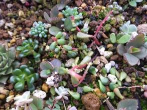 セダム・オレガナム(Sedum oreganum)やや紅葉し始めていますが摘芯&葉挿しもしてみます♪2015.10.25