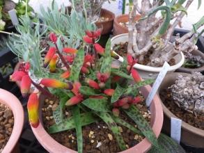 ラケナリア・七変化(Lachenalia aloides)ずーっと屋外簡易ミニ温室で過ごし開花中♪2016.02.23