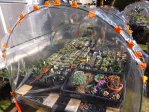 多肉植物冬支度♪簡易ビニールハウスの側面も閉じて保温します♪2015.11.28