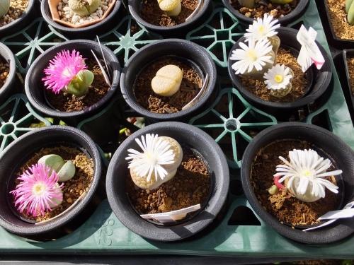 ホムセン購入の玉型メセン、アルギロテルマピンク花&リトープスは白花♪開花中2015.11.04