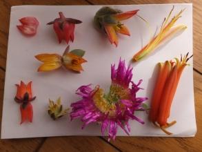 多肉花の蜜の味は?多肉の花を割ってみると透明な水分があります♪2015.12.08