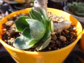 アエオニウム・スミッチー(Aeonium smithii)秋から出る葉裏には模様がありペトペト毛が生えています♪2015.12.04
