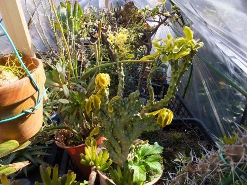 屋外温室内でも、ユーフォルビアマイナス気温に葉が痛んでしまいました(ToT)/~~~2016.01.27