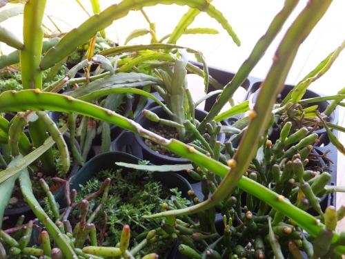 レピスミウム・ボリビアナム♪茎節の窪みに花芽がいっぱい♪2016.02.14