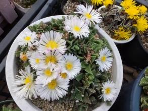 春秋型花メセン♪フォーカリアいろいろ~♪黄色と白花花盛り♪2015.11.30