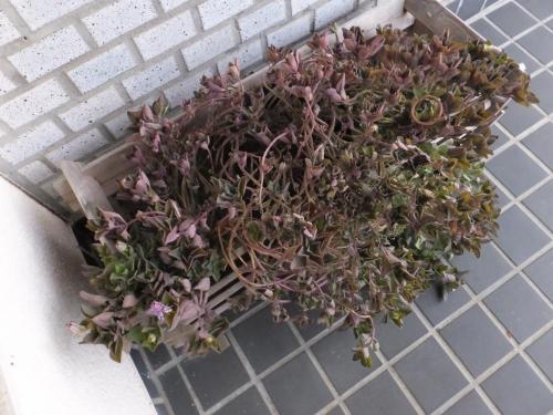 プレクトランサス・ネオチラス♪紫色に紅葉しながら開花中♪2016.01.27