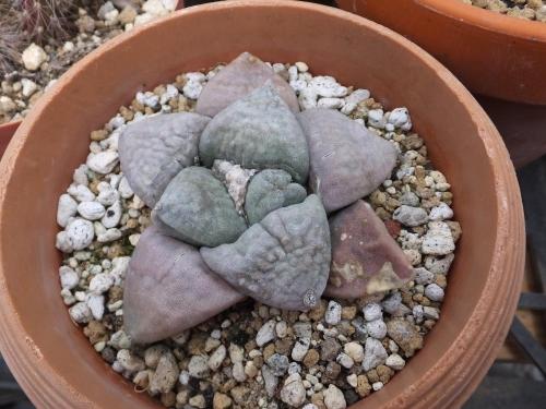 アリオカルプス・玉牡丹(たまぼたん)(Ariocarpus retsusas)2016.03.12
