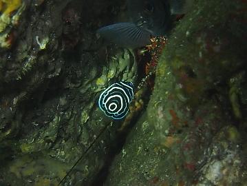 西川名タテジマキンチャクダイの幼魚(1)