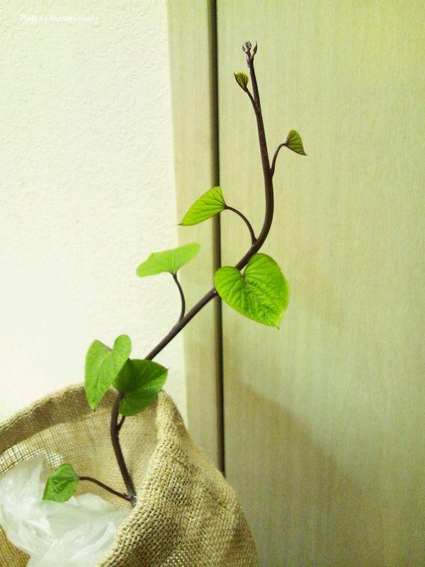 さつまいもの芽