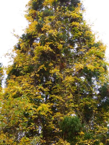 杉の木と藤のコラボ