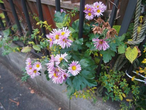 20151212・未来植物03・アカバナサツマノギク