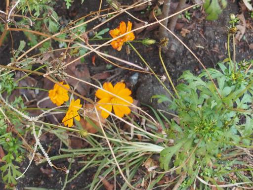 20151212・未来植物02・キバナコスモス