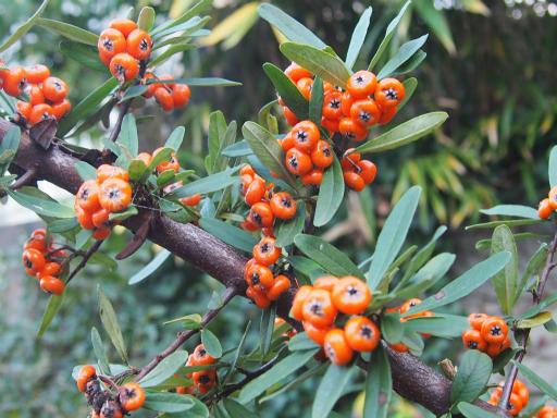 20151212・未来植物01・タチバナモドキ