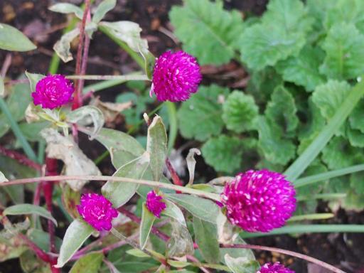 20151212・未来植物11・センニチコウ
