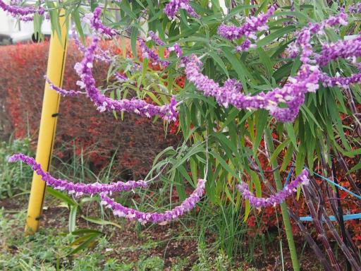 20151212・未来植物12・アメジストセージ