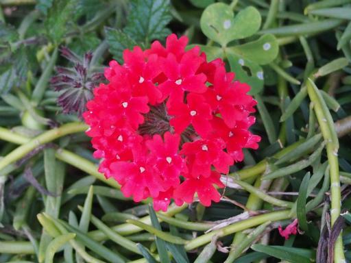 20151212・未来植物09・ヒメビジョザクラ