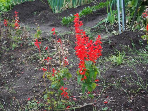 20151212・未来植物07・サルビア