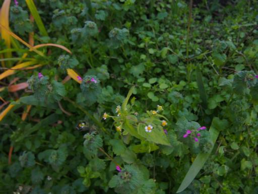 20151212・未来植物16・ハキダメギク
