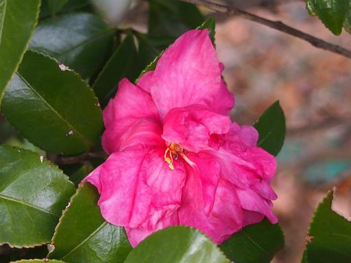 20151227・散歩植物05・サザンカ