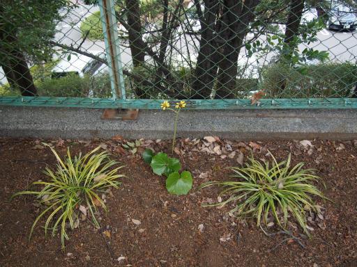 20151227・散歩植物06・ツワブキ