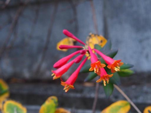 20151227・散歩植物11・ツキヌキニンドウ