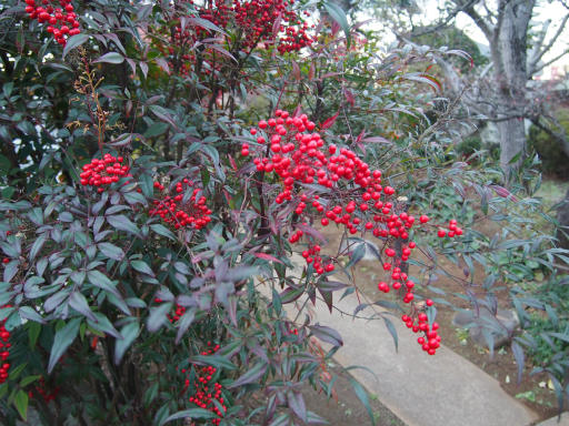 20151227・散歩植物09・ナンテン
