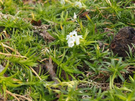 20160206・花さがし1-07・シバザクラ