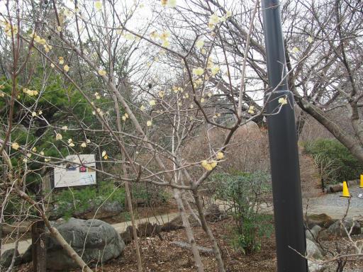20160206・花さがし2-03・ソシンロウバイ