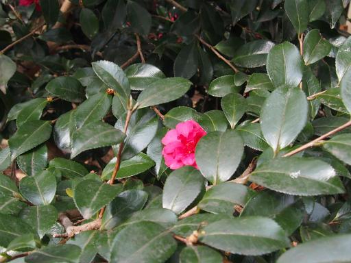 20160206・花さがし植物05・サザンカ