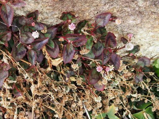 20160206・花さがし植物02・ヒメツルソバ
