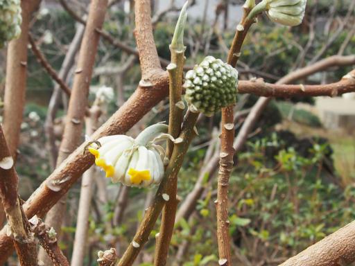20160206・花さがし植物04・ミツマタ
