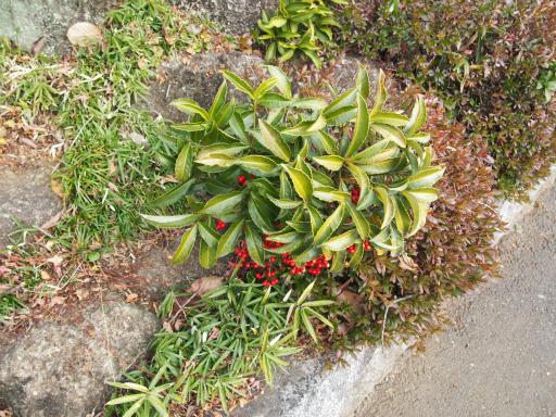 20160206・花さがし植物03・マンリョウ