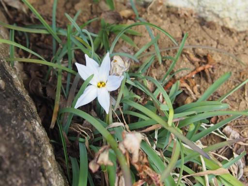 20160206・花さがし植物01・ハナニラ