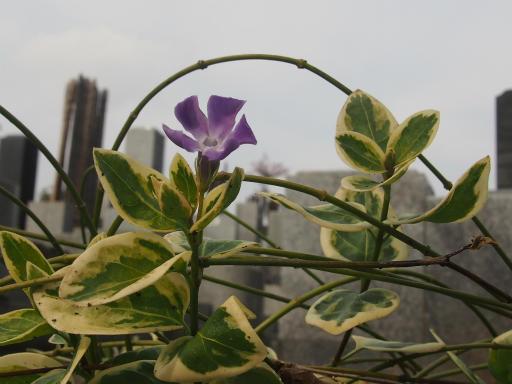 20160206・花さがし植物12・フクリンツルニチニチソウ