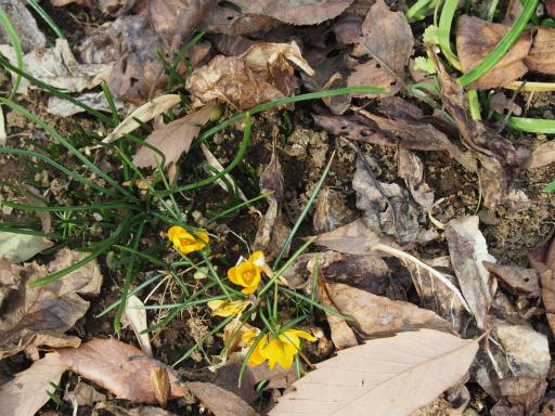20160206・花さがし植物09・キバナサフラン