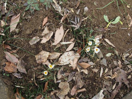 20160206・花さがし植物10・ハナサフラン(クロッカス)