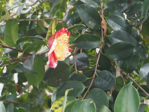 20160206・花さがし植物07・ツバキ