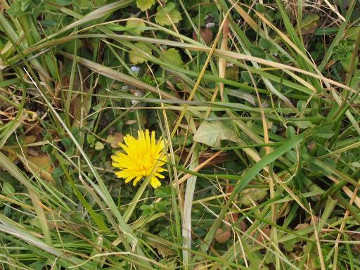 20160206・花さがし植物17・カントウタンポポ