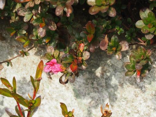 20160206・花さがし植物15・ツツジ