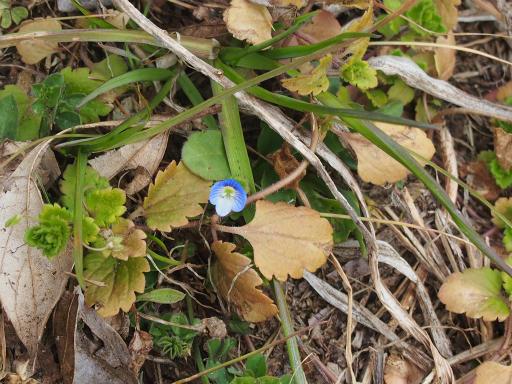 20160206・花さがし植物16・オオイヌノフグリ