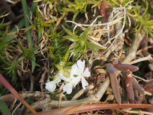 20160206・花さがし植物14・シバザクラ