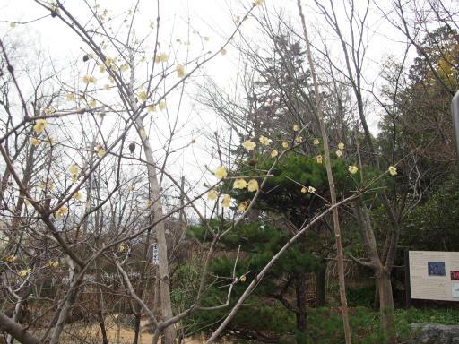20160206・花さがし植物21・ソシンロウバイ