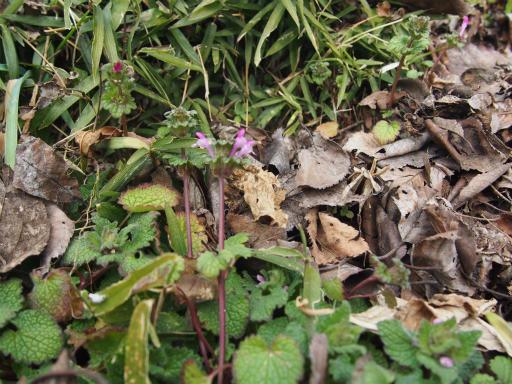 20160206・花さがし植物19・ホトケノザ