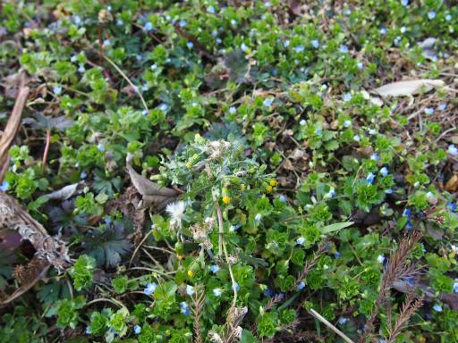 20160227・越生梅見植物06・ノボロギク
