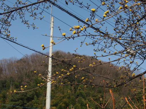 20160227・越生梅見植物07・サンシュユ