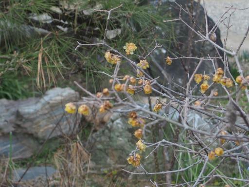 20160227・越生梅見植物17・ロウバイ