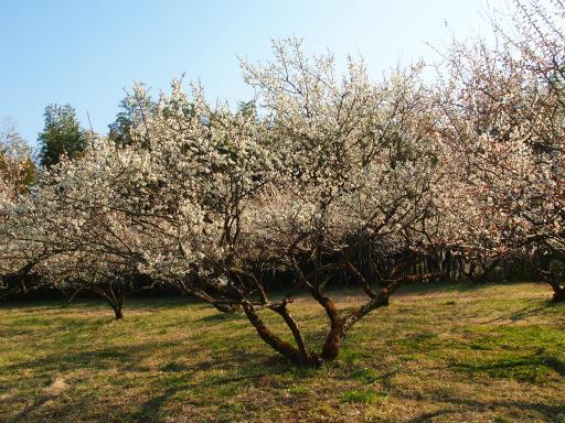 20160227・越生梅見植物21・越生の梅