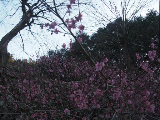 20160227・越生梅見植物27(再)・紅梅