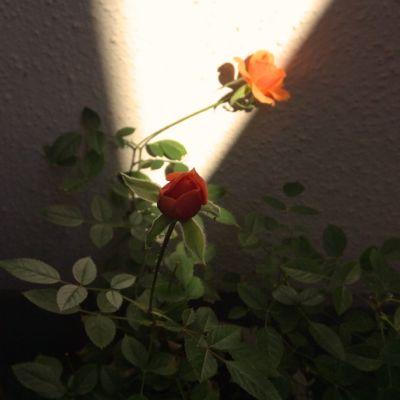 160104-rose.jpg